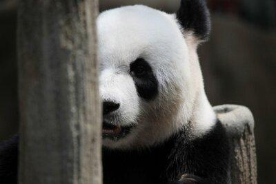 Fotomural Retrato del oso de panda