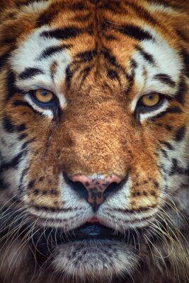 Fotomural Retrato del tigre
