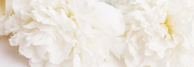 Fotomural Romantic banner, delicate white peonies flowers close-up. Fragrant pink petals