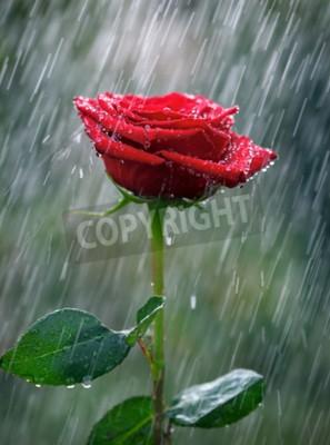 Fotomural Rosa roja con gotas de agua en la lluvia