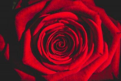 Fotomural Rosa roja de la oscuridad
