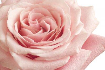 Fotomural Rosa rosa de cerca