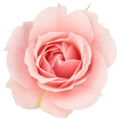 Fotomural Rosa rosa de cerca, aislado en blanco