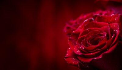 Fotomural Rosa. Rosas rojas. Ramo de rosas rojas. Día de San Valentín, fondo del día de la boda. Pétalos de rosa y corazones Cajas de regalo de San Valentín. Valentines y frontera de la boda. Las gotas de agua