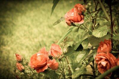 Fotomural Rosas en el jardín. Vieja imagen estilizada.