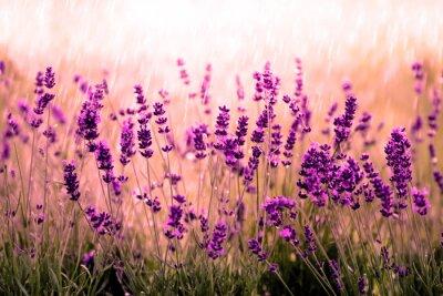 Fotomural Rot Lavendelfeld