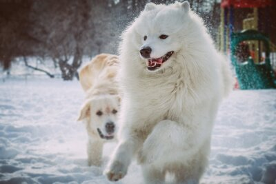 Fotomural Samoyedo corriendo en el parque de invierno