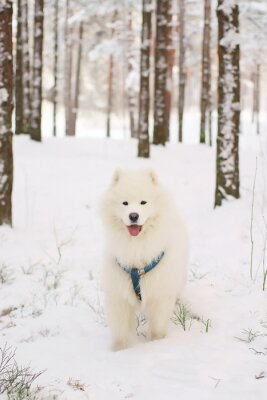 Fotomural Samoyedo perro permaneciendo en un bosque cubierto de nieve