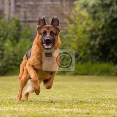 Fotomural Schaeferhund laeuft