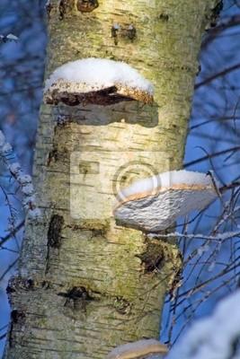 Fotomural Setas en el árbol de abedul en invierno