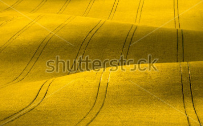 Fotomural Spring Wavy yellow rapeseed field with stripes and wavy abstract landscape pattern. Corduroy summer rural rape landscape.Yellow moravian undulating fields of crops.Yellow Background texture