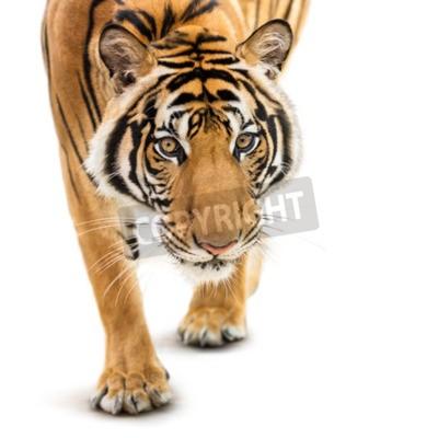 Fotomural Stalking tigre siberiano joven aislado sobre fondo blanco