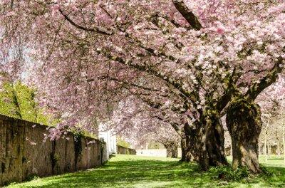 Fotomural Sueño de Primavera: flores de cerezo japonés :)