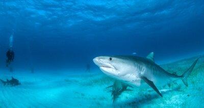 Fotomural tiburón tigre