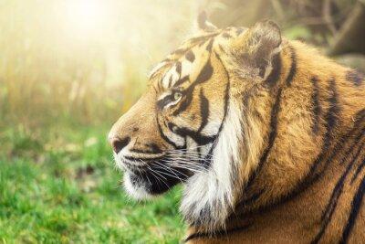 Fotomural Tiger im Seiten Perfil con el Sonne en el Gesicht