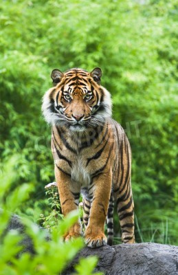 Fotomural Tigre asiático o bengala de pie con arbustos de bambú en el fondo