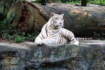 Fotomural Tigre blanco 4