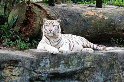 Fotomural Tigre Blanco 5