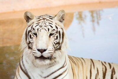 Fotomural Tigre blanco en el zoológico