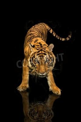 Fotomural Tigre caminando fondo negro