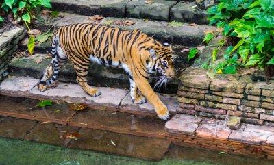 Fotomural Tigre cerca del abrevadero
