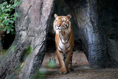 Fotomural Tigre de Bengala en el bosque