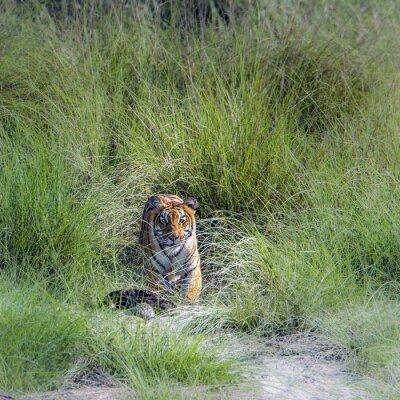 Fotomural Tigre de Bengala en el parque nacional de Bardia, Nepal