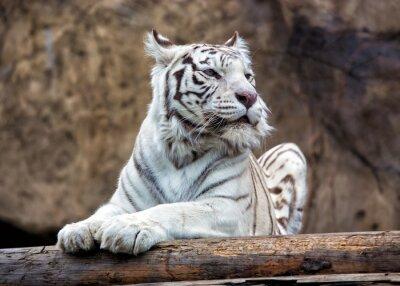 Fotomural Tigre de Bengala - una subespecie rara, está incluida en la Lista Roja de la UICN