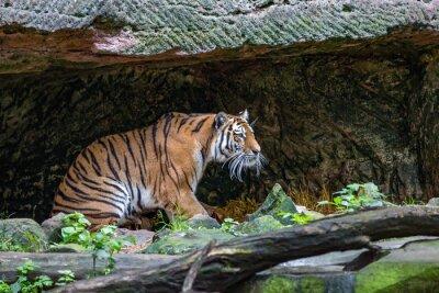 Fotomural Tigre en la cueva