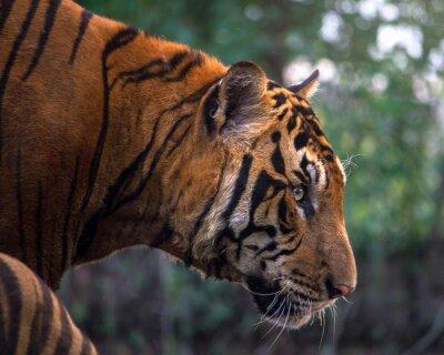 Fotomural Tigre, retrato de un tigre de Bengala