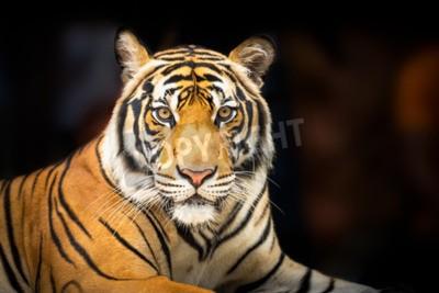 Fotomural Tigre siberiano joven en fondo oscuro en la acción de mirar a la cámara