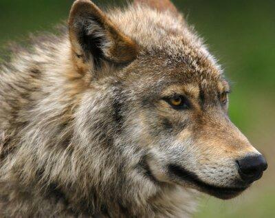 Fotomural Tiro de la cabeza del lobo gris.