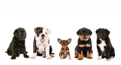 Fotomural Toda la clase de raza diferente linda de perros del perrito aislados en un fondo blanco, como chihuahua, rottweiler, border collie, Labrador y un bulldog inglés