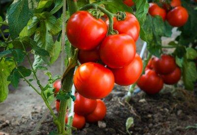 Fotomural Tomates maduros en el jardín listo para la cosecha