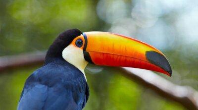 Fotomural Toucan en la rama en el bosque tropical de Brasil