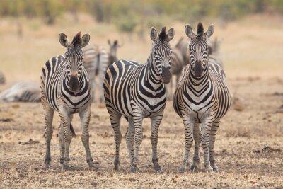 Fotomural Tres cebras, Kruger Park, Sudáfrica