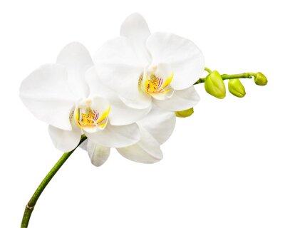 Fotomural Tres días de edad orquídea aislado en fondo blanco.