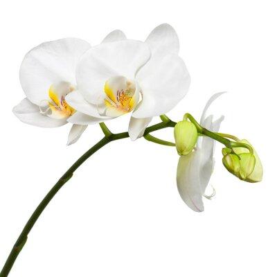 Fotomural Tres días de edad orquídea blanca aislada en el fondo blanco.