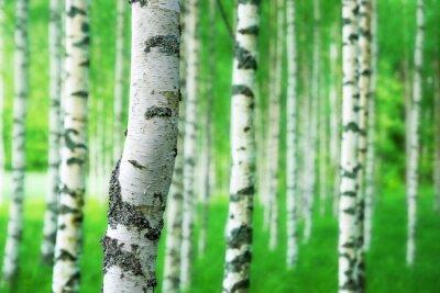 Fotomural tronco de árbol de abedul