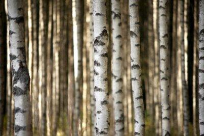 Fotomural troncos de los abedules