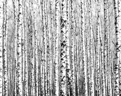 Fotomural Troncos de primavera de los árboles de abedul blanco y negro
