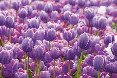 Fotomural Tulipán