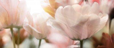Fotomural Tulipanes rayos de sol ligeros