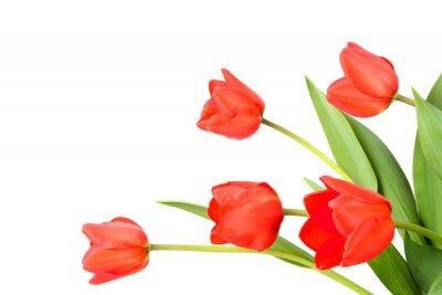 Fotomural Tulipanes sobre un fondo blanco