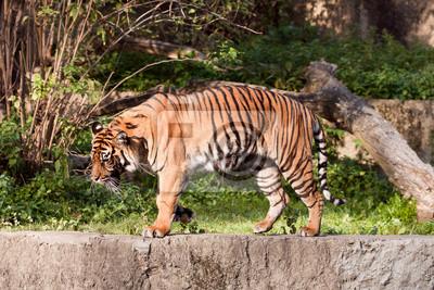 Fotomural Tygrys