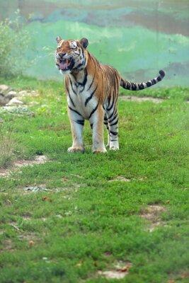 Fotomural Tygrys bengalski