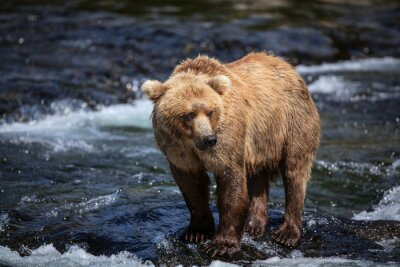 Fotomural Un marrón de Alaska busca el salmón en los riffles del río Brooks.