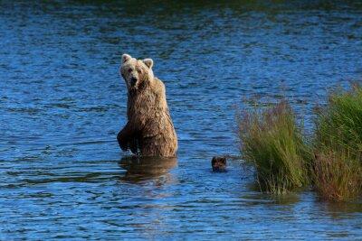 Fotomural Un oso pardo madre mira hacia atrás para comprobar sus cachorros mientras que cruzan los arroyos río, el Parque Nacional de Katmai, Alaska