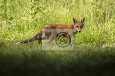 Fotomural Un zorro rojo, Vulpes vulpes, juvenil de pie en la hierba mirando a la cámara