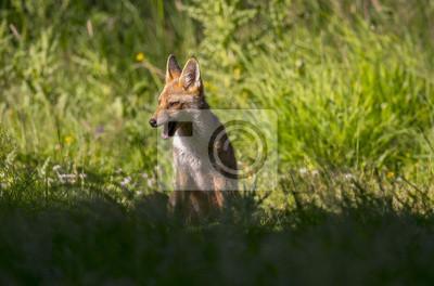 Fotomural Un zorro rojo, Vulpes vulpes, juvenil sentado en la hierba gruñendo